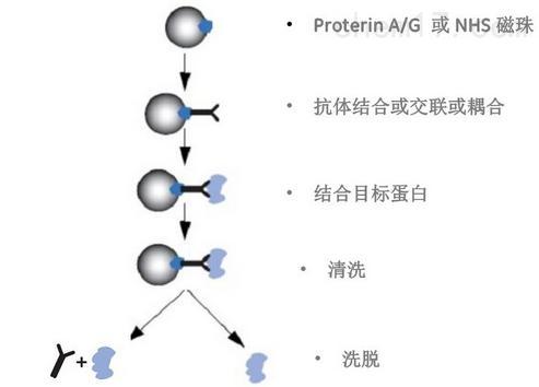 co-ip染色质免疫共沉淀-基尔顿生物科技(上海)有限公