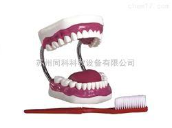 TK/K1牙护理保健模型(28颗牙,放大5倍)