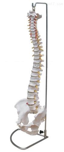 脊柱带骨盆模型(不可弯曲) 人体各大器官