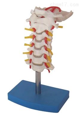 颈椎带颈动脉、后枕骨、椎间盘与神经模型 人体各大器官