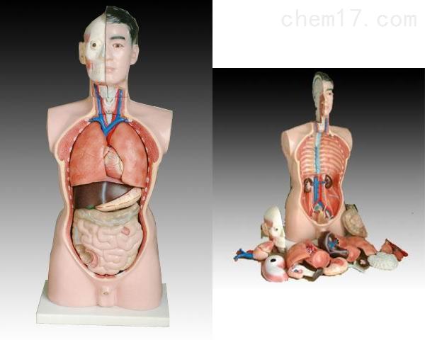 男性躯干模型19件85CM 人体各大器官