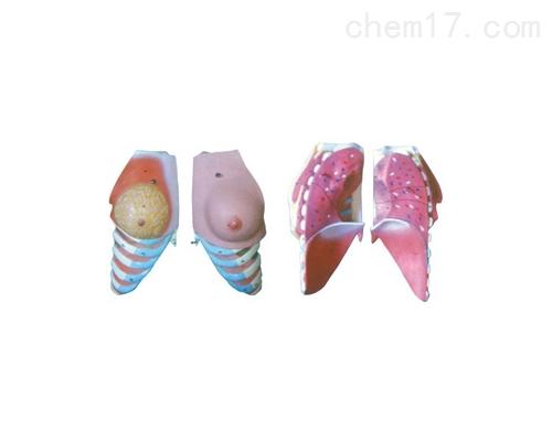 女性乳房解剖模型(2部件)