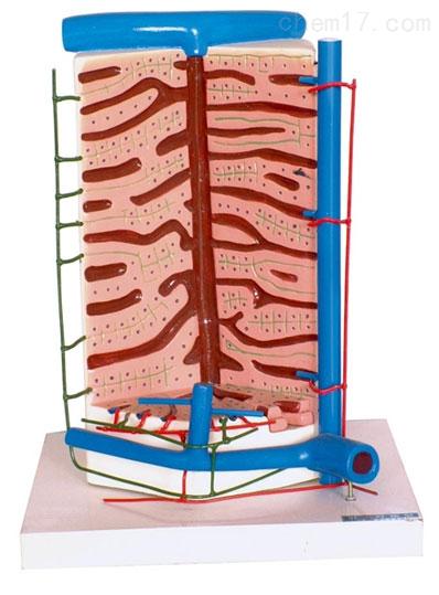 人肝小叶模型 生物模型