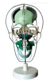 颅骨骨性分离着色模型  教学模型