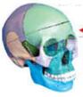 颅骨色分离模型(三部件)  教学模型