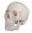 头颅骨模型(三部件)  教学模型