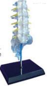透明腰骶尾椎与脊神经模型  教学模型