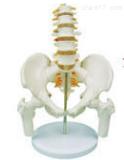 腰骶尾椎与脊神经附骨盆和股骨模型 教学模型