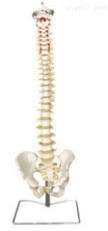 枕骨脊柱、骨盆和脊神经解剖模型  教学模型