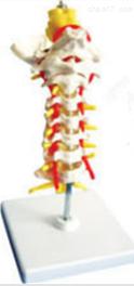 枕骨颈椎和椎动脉脊神经脑干模型 教学模型