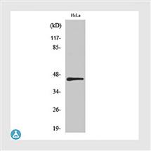 STJ93763Anti-IRF-3 antibody