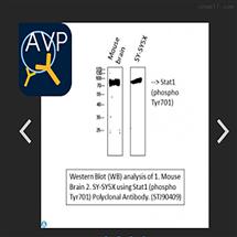 STJ90409Anti-Phospho-Stat1 (Y701) antibody