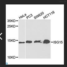 STJ24238Anti-ISG15 Antibody