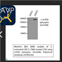 STJ90336Anti-Phospho-mTOR (S2448) antibody