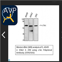 STJ92501Anti-c-Src antibody