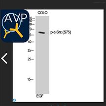 STJ90958Anti-Phospho-c-Src (S75) antibody