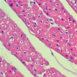 大鼠组织HE染色实验技术服务