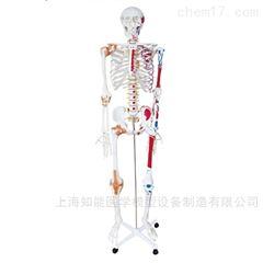 半边肌肉着色附韧带人体骨骼模型