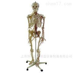 附主要动脉和神经分布人体骨骼模型