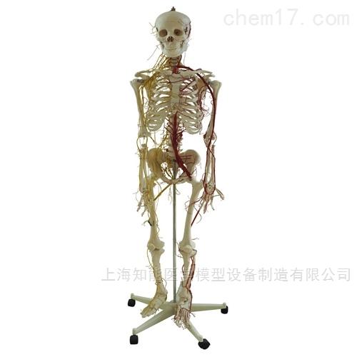 医博-<strong><strong><strong><strong>附主要动脉和神经分布人体骨骼模型</strong></strong></strong></strong>