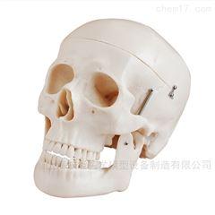 人体头骨模型