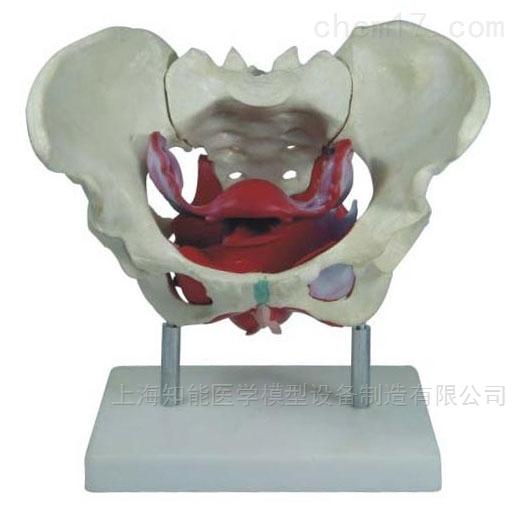 女性骨盆骨骼及盆底肌肉模型