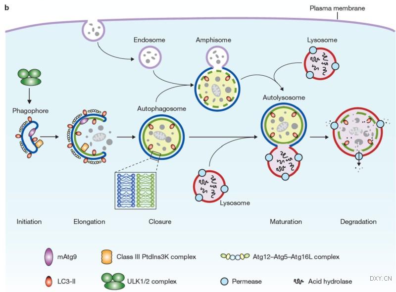 自噬一方面能够保护正常细胞, 防止癌化的发生; 另一方面又能够增强