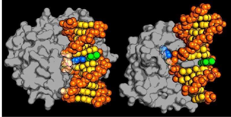 【中国化工仪器网 技术前沿】今年的诺贝尔化学奖颁给了三位科学家们,以表彰他们在DNA修复的细胞机制方面的研究。十月二十八日在《Nature》杂志上发表的一项最新研究,发现了一类新的DNA修复酶。      当科学家们首次发现DNA的结构时,认为它的化学性质是极其稳定的,这使得它可以作为基因蓝图,将父母的基本特征传递给其后代。尽管这一观点在公众当中仍然很流行,但生物学家们了解到,双螺旋结构实际上是一种高反应性的分子,它不断地被破坏,细胞必须不断地修复,以保护它所包含的基因信息。      这项研究的负责