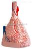 KAH5004肺泡放大 生物模型
