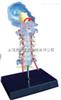 SMD01542透明枕骨颈椎和椎动脉脊神经脑干模型  教学模型
