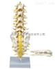 SMD01522腰骶椎与神经模型(骶骨可打开) 教学模型