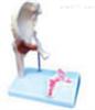SMD02541髋关节及韧带附矢状剖面模型  教学模型