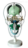 SMD0091颅骨骨性分离着色模型  教学模型