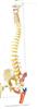 SMD01621枕骨脊柱、骨盆、股骨头和脊神经附着色点解剖模型  教学模型