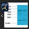 STJ97488Anti-TNF alpha antibody
